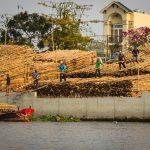 Bamboo loading in the Mekong Delta Vietnam